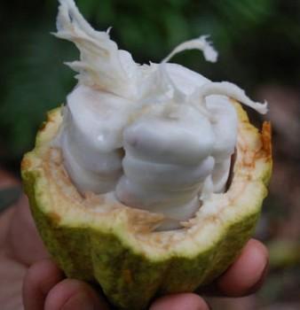Cocoa-Pod-Inside-1