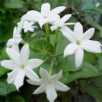 Essential oil_flower_Jasmine2