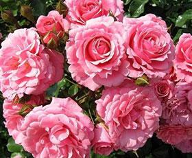 Essential oil_flower_Rose Damask 2