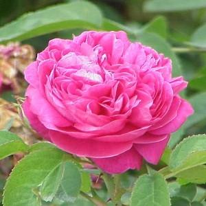 Essential oil_flower_Rose Damask