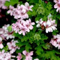 essential oil geranium 2