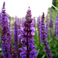 essential oil lavender 2