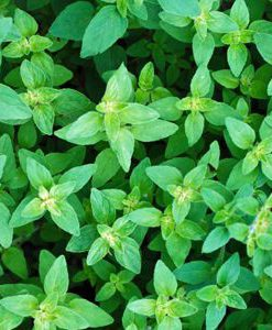 essential oil oregano wild