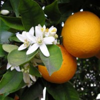 essential oil orange 2