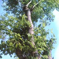 essential oil rosewood tree