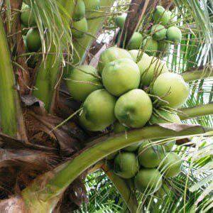 Coconut Oil Extra Virgin_Tree