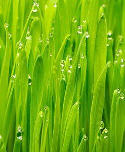 essential oil palmarosa