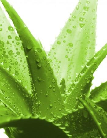 aloe vera gel plant