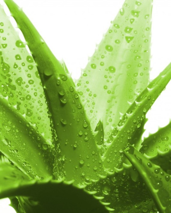how to get aloe vera gel from plant