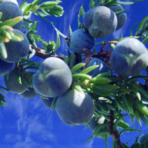Essential oil_Juniper Berry 2