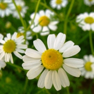 essential oil chamomile german 2