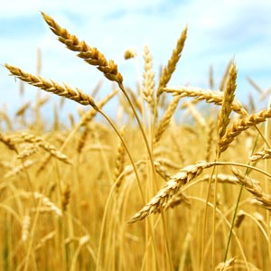 wheatgerm oil wheat