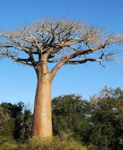 Baobab 5