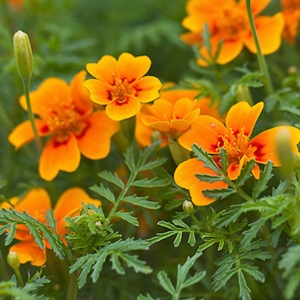 Essential oil Tagetes 1