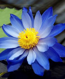 blue lotus absolute 2