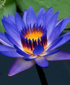 blue lotus absolute