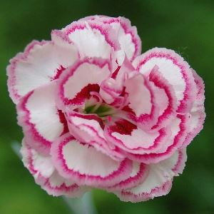 carnation absolute