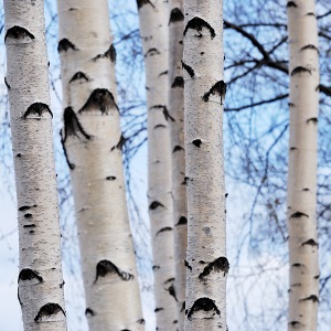 essential oil birch winter