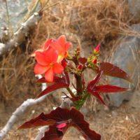 huanarpo macho flower