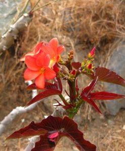 huanarpo-macho_flower